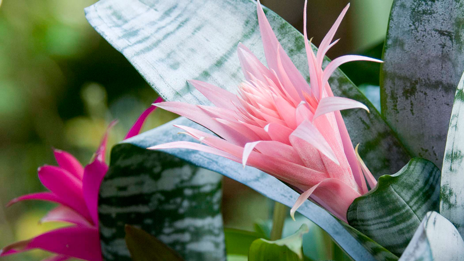 easy-houseplants-to-care-for-indoor-plants-fffb-ghk-you-cannot-kill-bromeliad-s